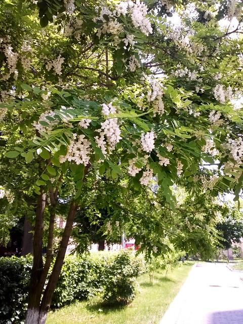 street flower, acacia. Lviv, Ukraine