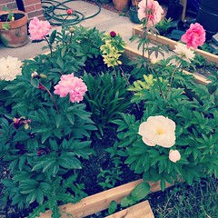 All the peonies have popped out in this warm weather