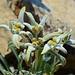 Leontopodium alpinum by pj-makrofotografie