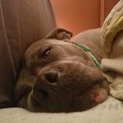 Snoring with my eyes open. #bonnie_blue_staffy #bonnie_blue_bullie #staffysofinstagram #pitbullsofinstagram #dogsofinstagram #showmeyourpitties #dontbullymybreed #endbsl #lovernotafighter #dogstagram #doglove #dogsofinstaworld #adoptdontshop #rescuedog #r