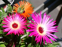 dorotheanthus bellidiformis, annual plant, flower, plant, macro photography, flora, floristry, close-up, ice plant, petal,