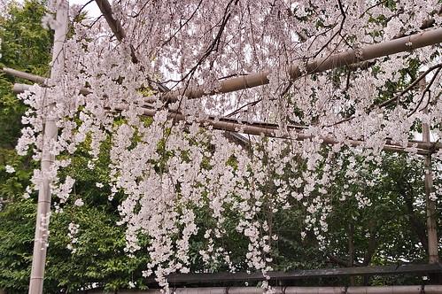 【写真】桜 : 車折神社