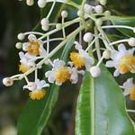 Calophyllum inophyllum flowers
