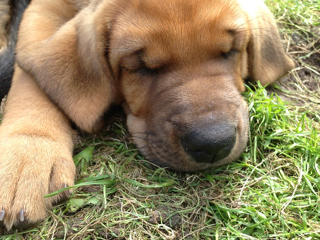 Puppy number 12