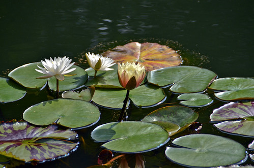 flowers summer usa white plant flower water floral reflections georgia botanical waterlily lily south southern lilies lilypad nymphaeaceae flowersinwater ballground gibbsgardens