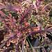 Small photo of Coleus Kiwi Fern