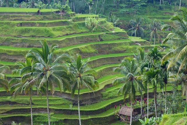 Bali 092 - Tegallalang Rice Terraces