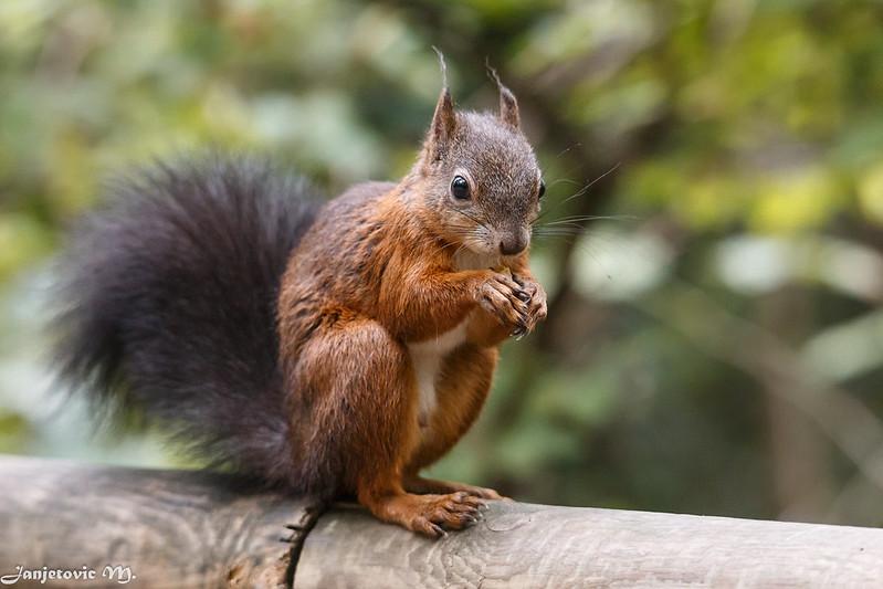 Eichhoernchen (Sciurus vulgaris) - Squirrel by Mladen Janjetovic