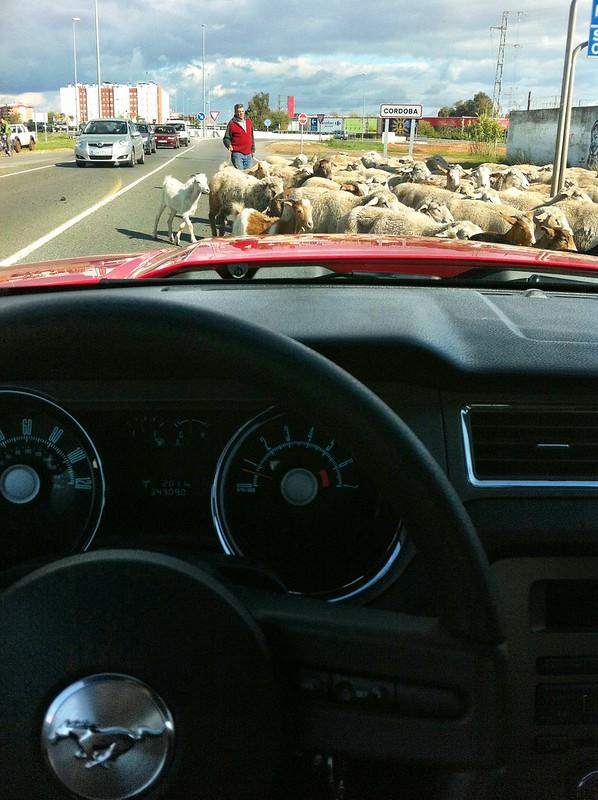 Llegando a Córdoba, con ovejitas