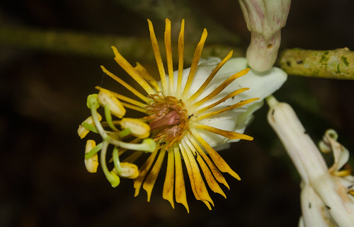 Passiflora sp, Choco - Colombia