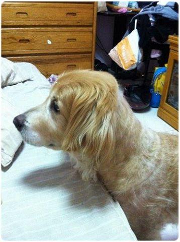「認養」台北板橋12歲黃金獵犬BoBY弟弟~皮膚不好,似肌肉瘤,腳底纖維化不喜歡走路~誠徵認養家庭~謝謝您~20131127