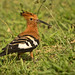 Hoopoe by anthonynixon17