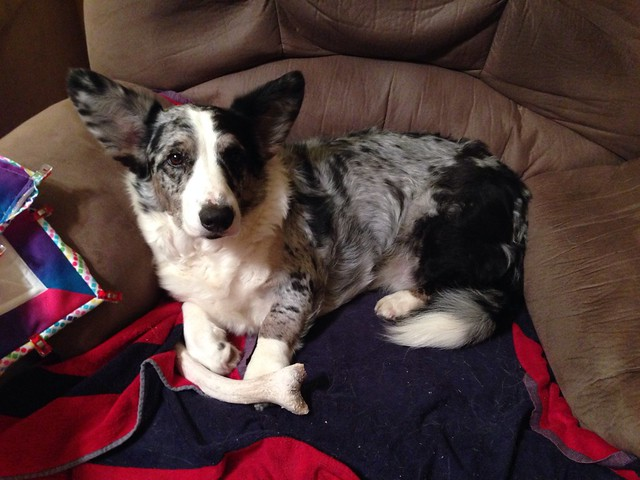 Sleepy Cardigan Welsh Corgi