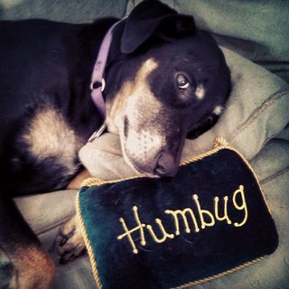 My sentiments exactly. #dogstagram #dobermanmix #humbug