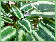 Schismatoglottis calyptrata with beautiful variegated foliage, 10 Dec 2013