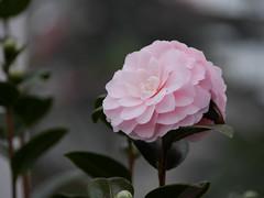 blossom(0.0), camellia(1.0), camellia sasanqua(1.0), flower(1.0), plant(1.0), macro photography(1.0), flora(1.0), camellia japonica(1.0), theaceae(1.0), close-up(1.0), pink(1.0), petal(1.0),