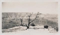 Artistic photo of a bush at the Grand Canyon