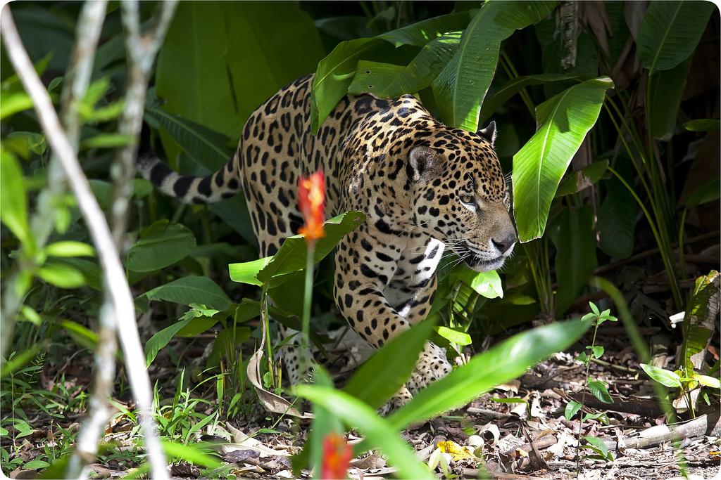 16. Jaguar en la selva hondureña. Yannick Turbe