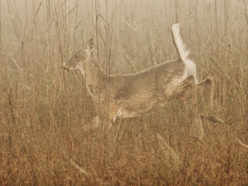 White-tailed Doe in fog 2-20140224