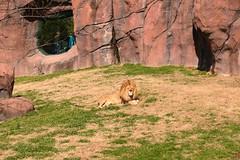 Sunning Lions