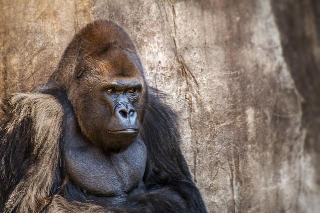 praline3001(say NO 2 Beta) - lowland silver back gorilla