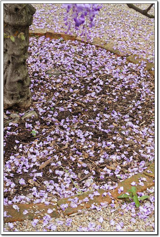紫藤、老梅 (9)