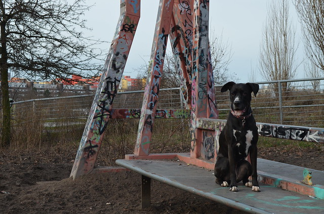 Mauerpark Berlin_Bailey boxador on graffiti bench at dog park