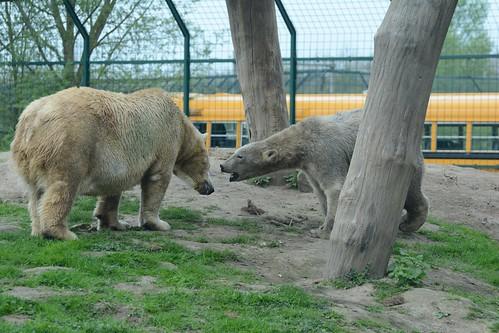 Eisbären Noordje und Beja  im Dierenrijk in Mierlo
