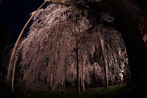 慈雲寺 糸桜 夜
