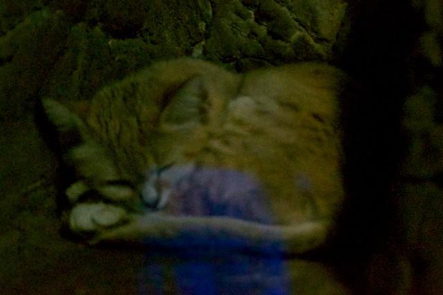 Sand Cat Ball
