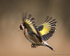Goldfinch Inflight by Trev_Birtwistle