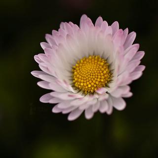 Pretty Daisy