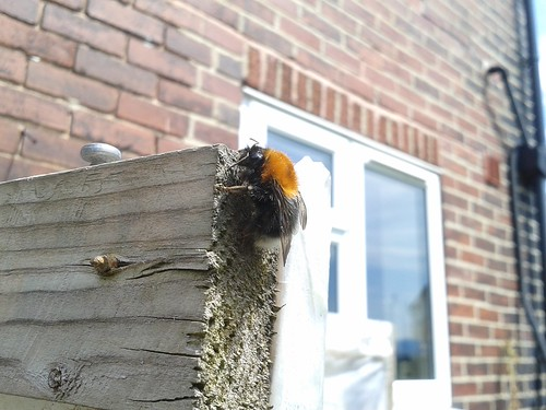 A Tree bumblebee taking 5 mins on the door of my greenhouse.