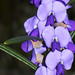 Small photo of Hovea trisperma