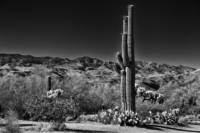 A Desert Landscape with Saguaro Cactus, Mountains and Blue Skies Above (Black & White, Saguaro National Park)