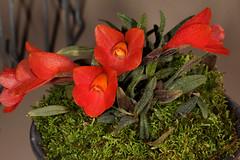 Dendrobium cuthbertsonii 2017-03-13 01