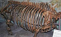 Teleoceras sp. (fossil rhinoceros) (Ash Hollow Formation, Miocene; Clayton Quinn Ranch, near Ainsworth, Nebraska, USA) 3