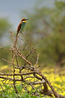 European bee-eater enjoying the rain