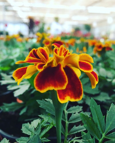 Tagetes  de #primavera #spring #love #instagood #beautiful #nature #amazing #beauty #bestoftheday #photo #pretty #flowers #instalove #awesome #white #instago #spring #all_shots #flower #garden #igaddict #plants #floral #flowerstagram #igersciudadreal #ige