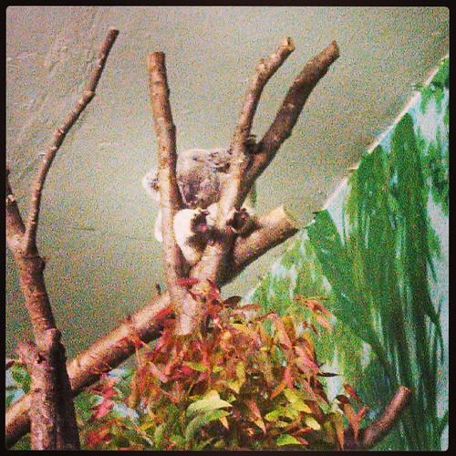 Nap time #koala #stonezoo #AussieAdventure