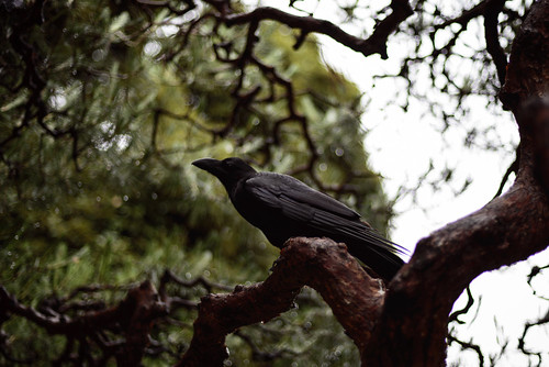 Crow on a rainy day 20130616