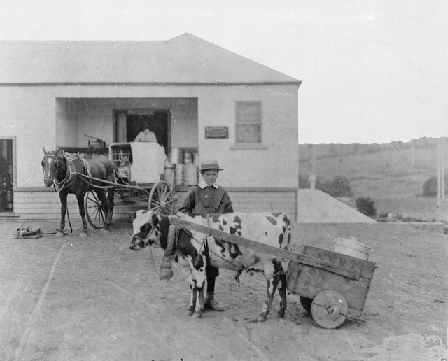 Cow Pulling Wagon : Boy with cow pulling farm equipment flickr photo sharing