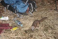 鼬獾族群陸續發現狂犬病,未來應避免接觸野生動物。(攝影:官翰煒)