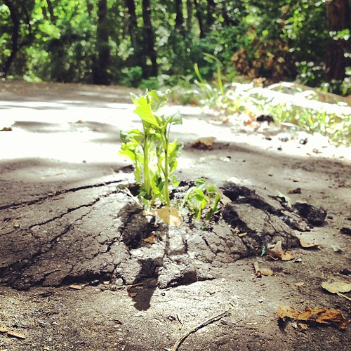 I came across this plant busting through the asphalt today. My head has been on the image of planting and watering, but God causing the growth (1 Corinthians 3:6). So when I saw this I realized sometimes the ground is not the most fertile of locations and