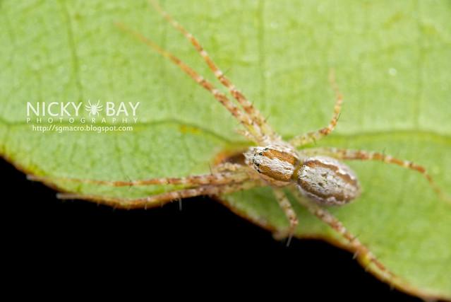 Nursery Web Spider (Pisauridae) - DSC_0809