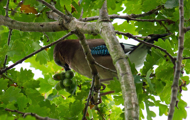 Jay with Acorns, Leeds Liverpool Canal