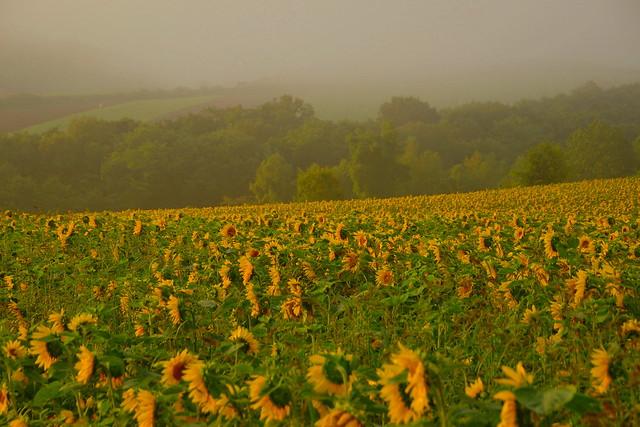 朝霧の中の向日葵2
