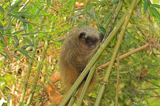 Monkey alarm research