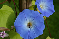 annual plant(1.0), ipomoea violacea(1.0), flower(1.0), purple(1.0), ipomoea alba(1.0), plant(1.0), macro photography(1.0), wildflower(1.0), flora(1.0), petal(1.0),