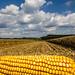 Feed Corn Harvest at John N. Mills & Sons